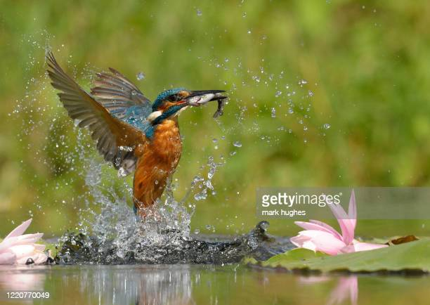 kingfisher - animals in the wild stock pictures, royalty-free photos & images