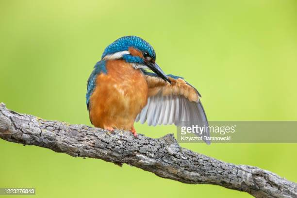 kingfisher - linda rama fotografías e imágenes de stock