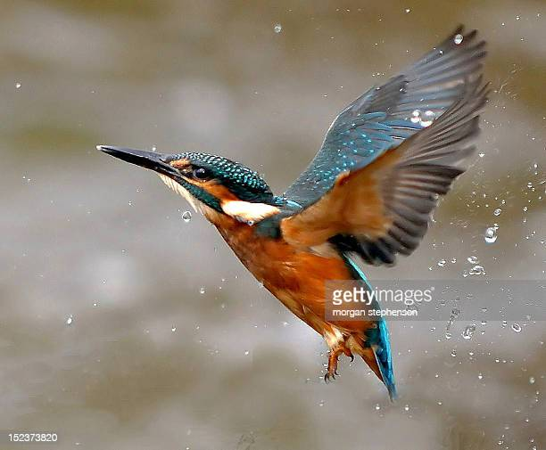 kingfisher - kingfisher stock pictures, royalty-free photos & images