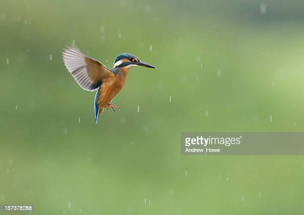 kingfisher  (alcedo atthis) - kingfisher stock pictures, royalty-free photos & images
