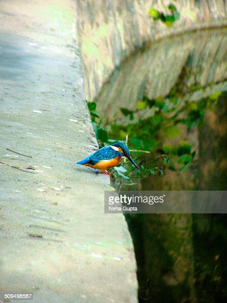kingfisher - neha gupta stock pictures, royalty-free photos & images