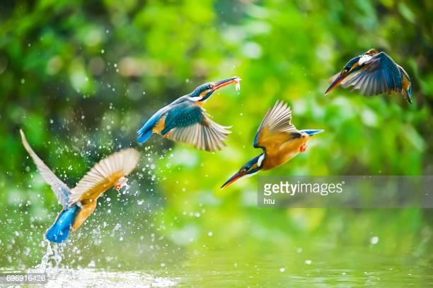 kingfisher - カワセミ科 ストックフォトと画像