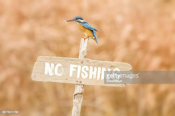 Kingfisher posing on no fishing sign with fish in beak