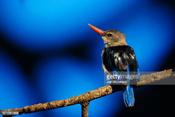 kingfisher resting on a branch - gray headed kingfisher stock pictures, royalty-free photos & images