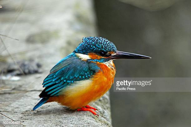 A kingfisher rests on the embankment of famous Dal Lake in Srinagar the summer capital of Indian controlled Kashmir The weather department in Kashmir...