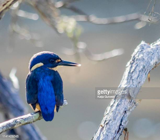 kingfisher sitting on branch, backlit - freshwater bird stock photos and pictures