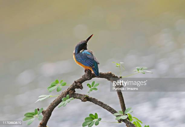 a kingfisher staring at somewhere in june - purbella stock photos and pictures