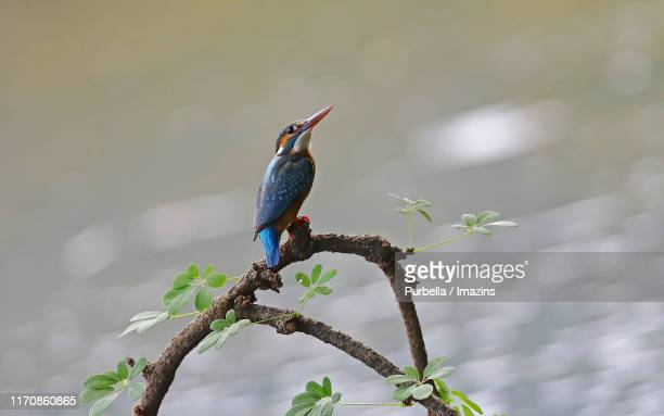 a kingfisher waiting for something in june - purbella stock photos and pictures