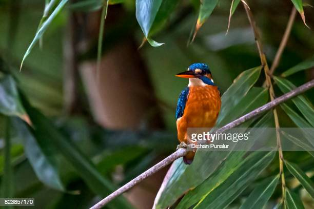 kingfisher waiting - common kingfisher stock photos and pictures