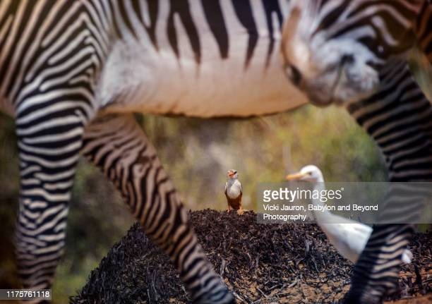 kingfisher watching the zebra parade at samburu, kenya - gray headed kingfisher stock pictures, royalty-free photos & images