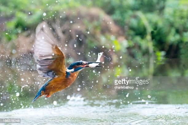Kingfisher mit einem Fisch Abendessen