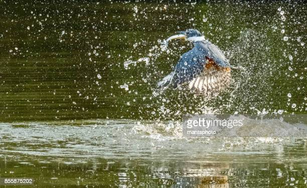 kingfisher with catch - freshwater bird stock photos and pictures