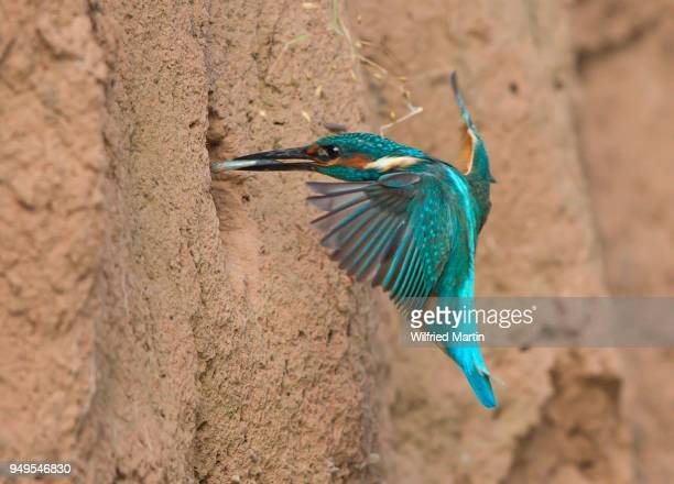 kingfisher (alcedo atthis) with fish approaching nest, hesse, germany - カワセミ科 ストックフォトと画像