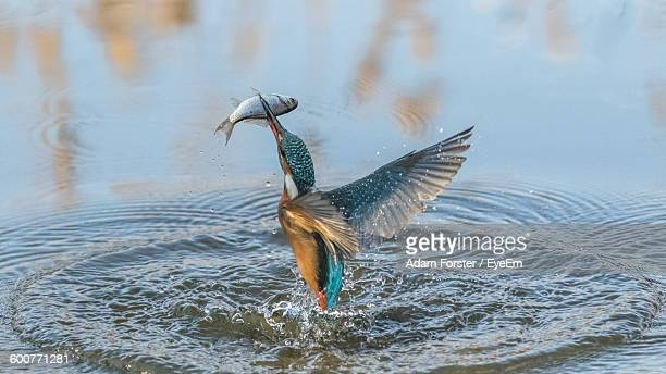 kingfisher with fish flying over lake - kingfisher stock pictures, royalty-free photos & images