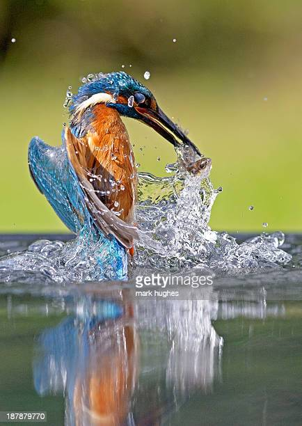 kingfisher with fish - kingfisher stock pictures, royalty-free photos & images