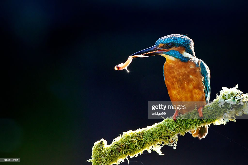 Kingfisher with fish : Stock Photo