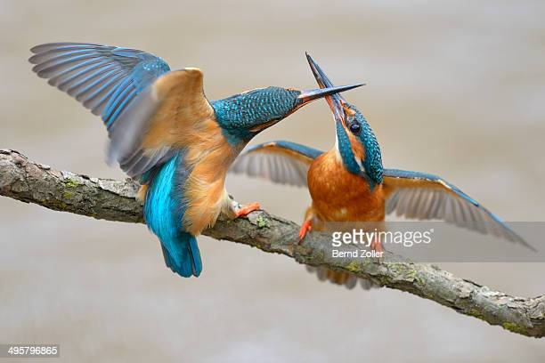 Kingfishers -Alcedo atthis-, two females fighting over breeding place, Swabian Alb biosphere reserve, Baden-Wurttemberg, Germany