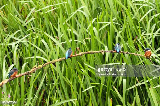 4 Kingfishers on a branch.