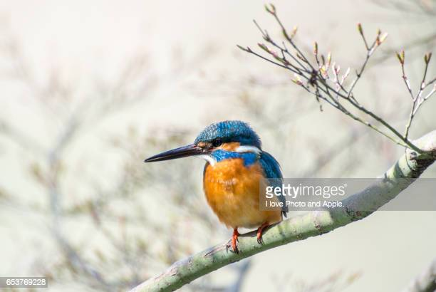 kingfishers - common kingfisher stock photos and pictures