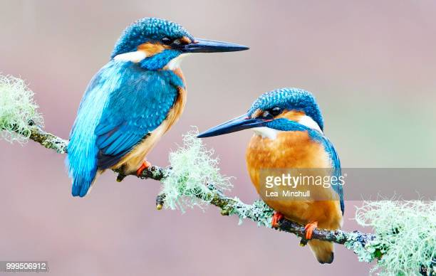 kingfishers (pair) - kingfisher stock pictures, royalty-free photos & images