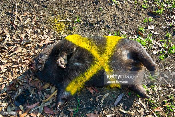 A dead Common Wombat is marked with paint for collection after a fire.