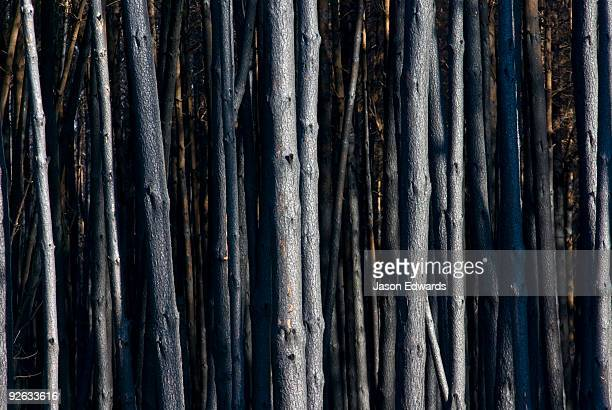 A desolate stand of eucalyptus plantation timber destroyed by a fire.