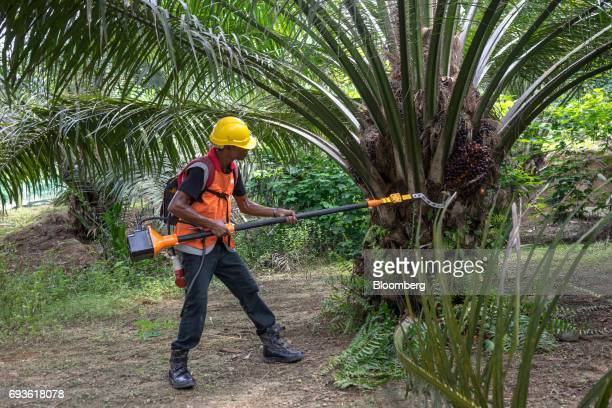 A Kingoya Technologies Sdn employee uses a Kingoya ECUT cutter during a demonstration at a palm oil plantation in Bukit Basout Estate Perak State...