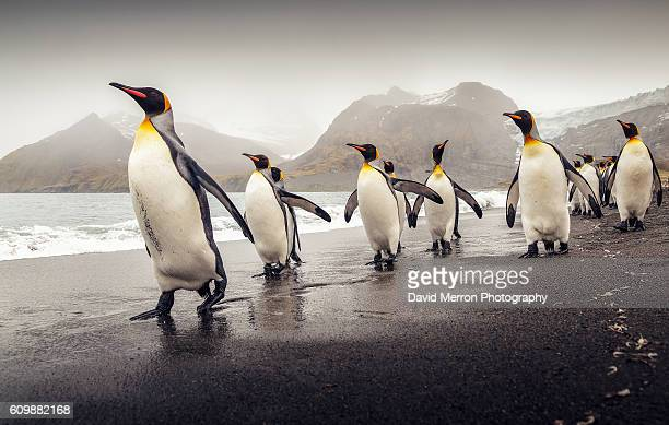 kings marching - pinguïn stockfoto's en -beelden