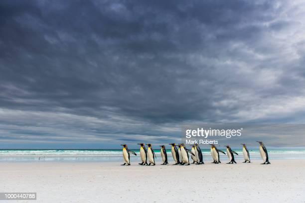kings on the beach - falklandinseln stock-fotos und bilder