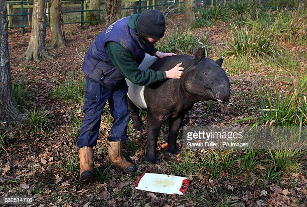 Kingut EuropeOtildes oldest Malayan Tapir celebrates his 39th birthday with keeper Ben Cosgrove in his enclosure at Port Lympne Wild Animal Park near...