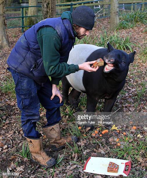 Kingut EuropeOtildes oldest Malayan Tapir is feed cake by his keeper Ben Cosgrove as he celebrates his 39th birthday in his enclosure at Port Lympne...