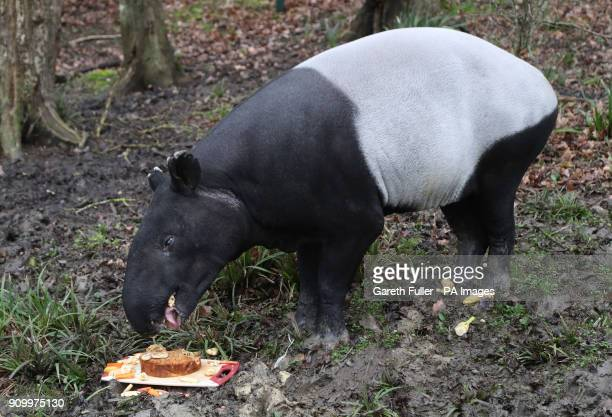 Kingut the Malayan Tapir tucks into a birthday cake made of his favourite treats including carrots apples bananas and raisins as he celebrates his...