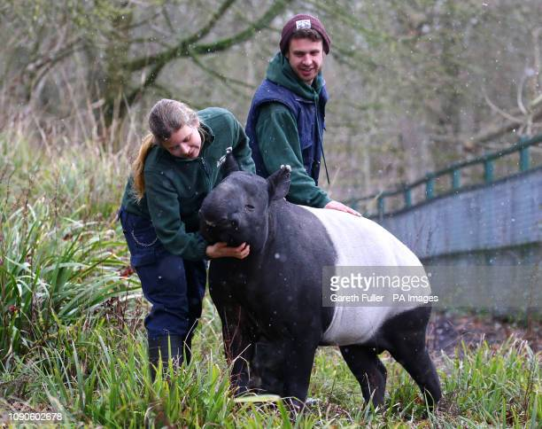 Kingut the world's oldest Malayan Tapir who celebrates his 41st birthday on Tuesday in his enclosure at Port Lympne Wild Animal Park near Ashford Kent