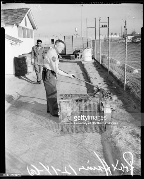 Kinkajou found in home in Santa Ana 14 December 1960 Robert E Haines Caption slip reads 'Photographer Bob Davis Date Assignment Kinkajou found in...