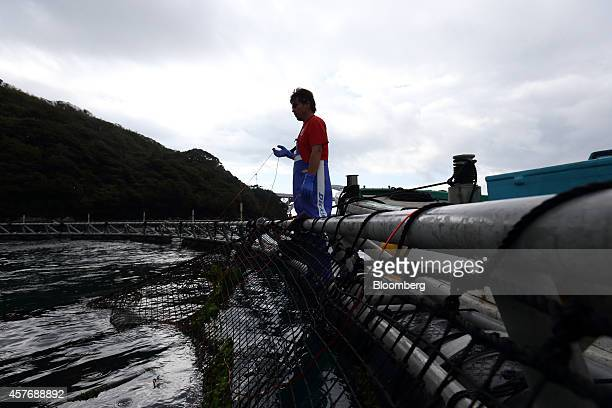 Kinki University Fisheries Laboratory staff member fishes for blue-fin tuna on a sea pen at a fish farm operated by the laboratory in Kushimoto,...