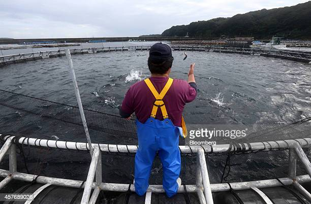 Kinki University Fisheries Laboratory staff member throws mackerel into a sea pen to feed blue-fin tuna at a fish farm operated by the laboratory in...