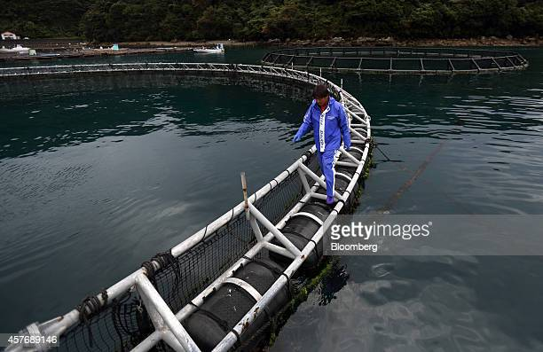 Kinki University Fisheries Laboratory staff member walks on a sea pen for blue-fin tuna on the water at a fish farm operated by the laboratory in...