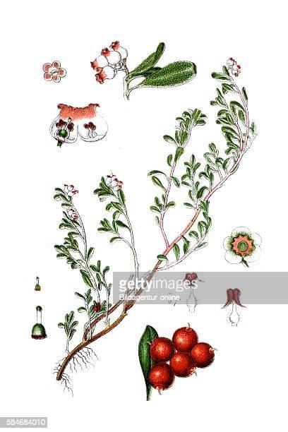 Kinnikinnick and Pinemat manzanita Arctostaphylos uvaursi
