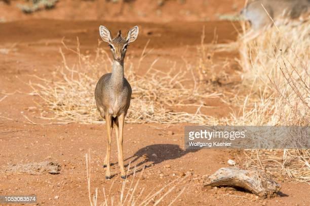 Kirks dikdik a small antelope in the Samburu National Reserve in Kenya