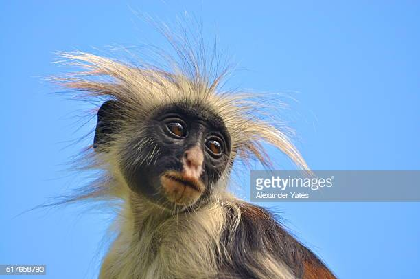Kirk's Red Colobus Monkey