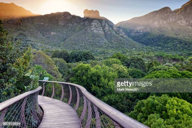 kirstenbosch botanical gardens arboretum and table mountain from the boomslang canopy walkway, cape town - south africa stock pictures, royalty-free photos & images