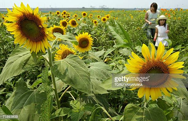 A girl and her mother stroll in a field of sunflowers at Hanahotaru park in Kisarazu suburban Tokyo 06 August 2006 A total of one million sunflowers...