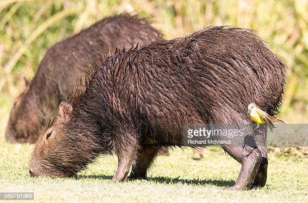 Kiskadee trying to jump on Capybara