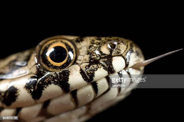 kiss me - the snake - grass snake stock pictures, royalty-free photos & images