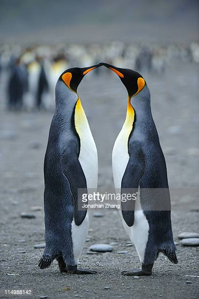 kiss of   penguins - pair stock pictures, royalty-free photos & images