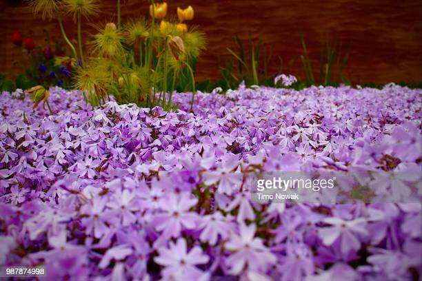 kissen - chelsea flower show stock pictures, royalty-free photos & images
