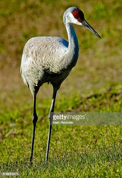 Kissimmee Florida 282010 Sandhill cranes being hand feed by hotel manager Credit Mark Reinstein