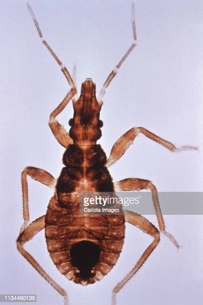kissing bug a vector for chagas disease - trypanosoma stock pictures, royalty-free photos & images