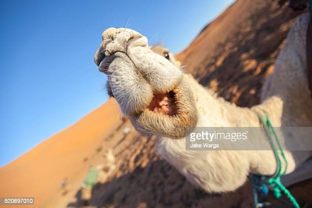 Kissing camel in Sahara Desert, Morocco