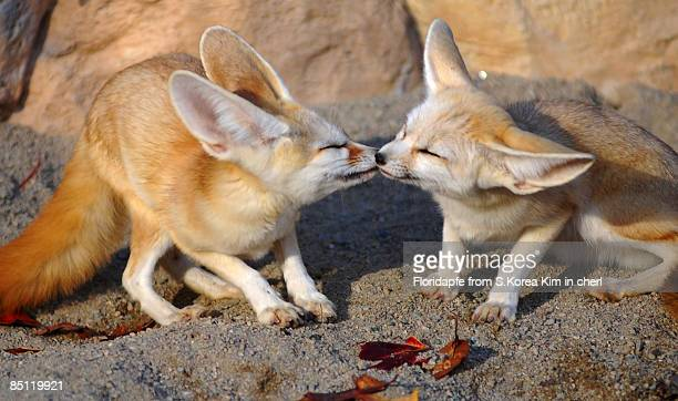 kissing fennec fox - fennec fox stock photos and pictures